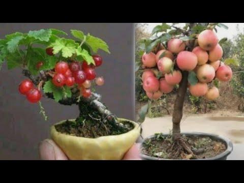 MGA HALAMANG HINDI MAGANDA SA LOOB NG TAHANAN NA NAGBIBIGAY MALAS-Apple Paguio7