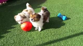 Maltese X Shihtzu Pups