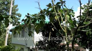 Tree tomatoes grow as tall as a house at Bon Farmhouse in Sikkim