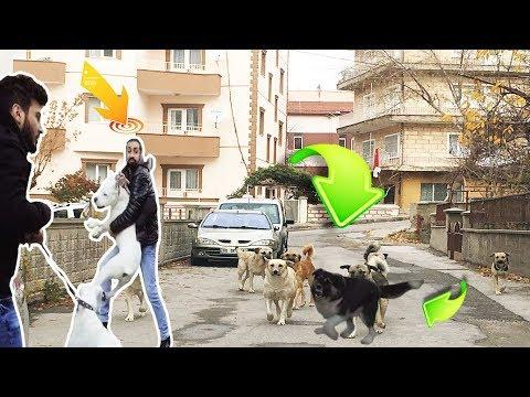 SOKAK KÖPEKLERİ DOGO ARGENTİNO'LARI SANAYİDEN ÇIKARMADI (İNANILMAZ) !!