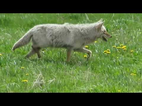 Coyote finishes eating squirrel and then hunts agains - Yellowstone National Park - Lamar Valley WY