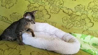 Ориентальный котик Svetori Rosmarin