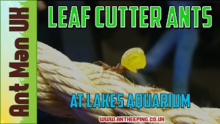 Leaf Cutter Ant Colony | How AMAZING Guys! | at Lakes Aquarium
