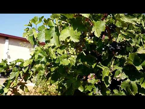 VStube 046 - CARIÑENA. Wine tasting and red wine fountain (Sep 24, 2017)