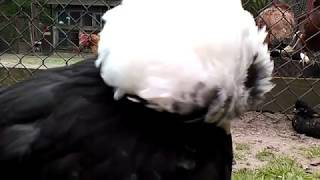 bardzo smutna i załamana kura czubatka...chyba zdechnie...