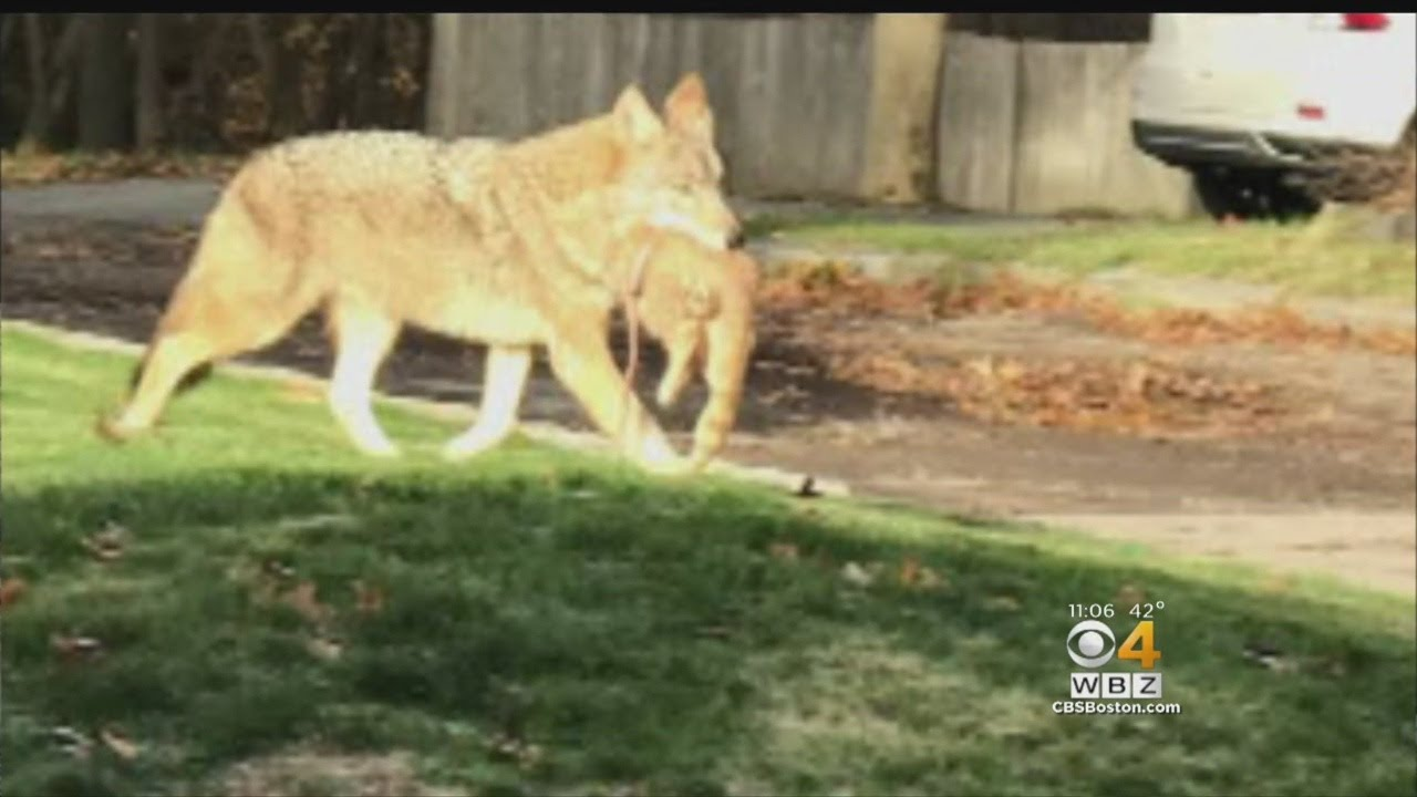 Pet Owners On Alert After Coyote Kills Cat