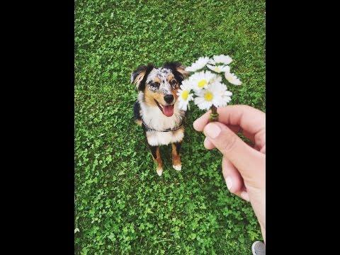 Basic Dog Tricks By Australian Shepherd Nala ( 6 Months)