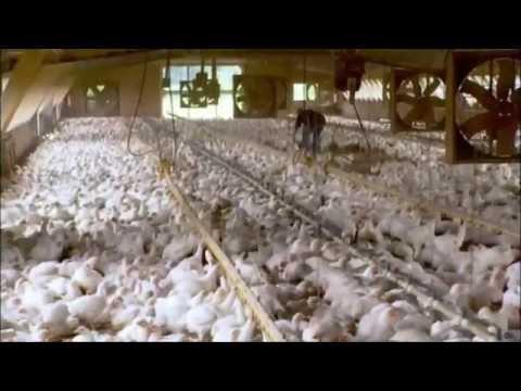 Food Inc. Chicken Clip