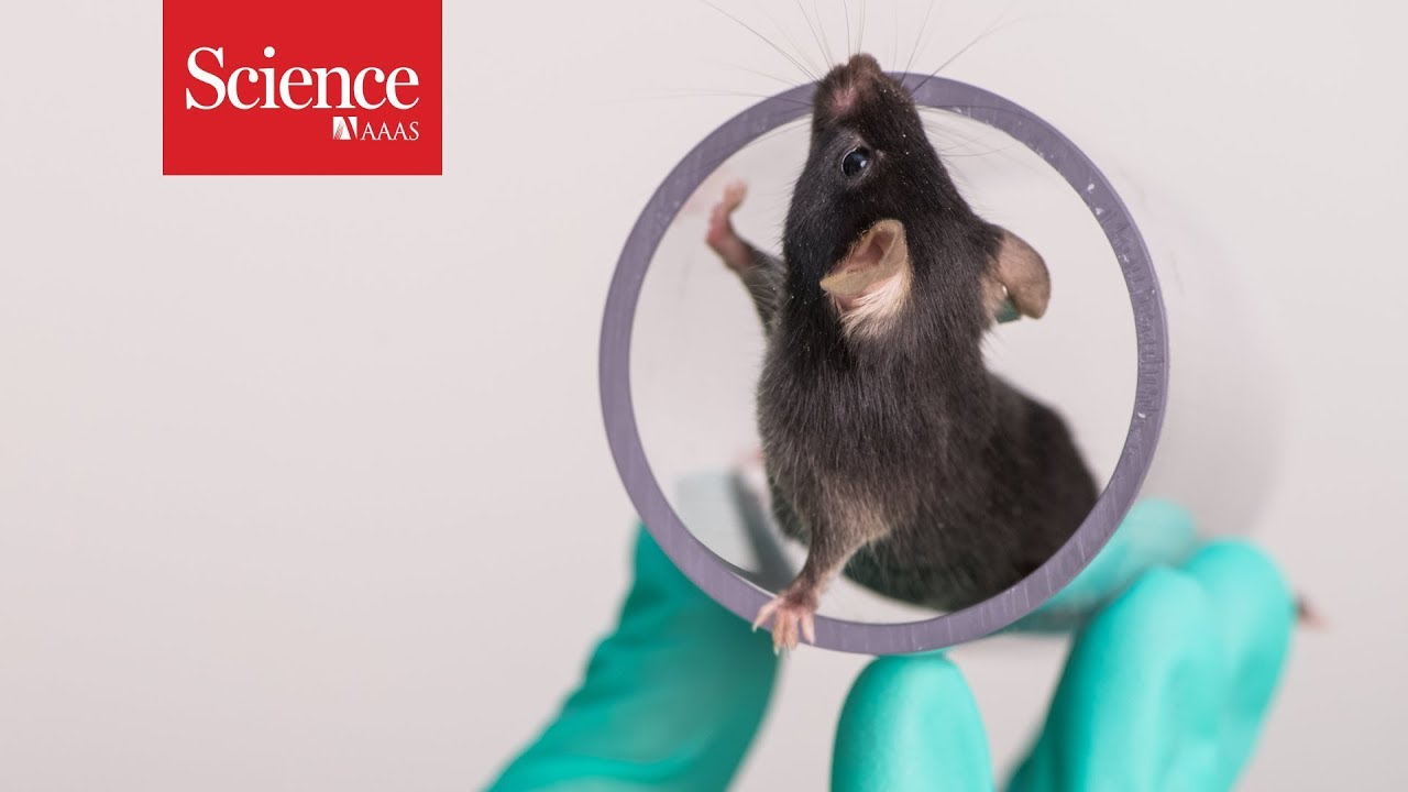 Are happy lab animals better for science? | Science | AAAS