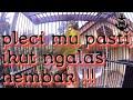 Pleci Ngalas Gacor Ngotot  Mp3 - Mp4 Download