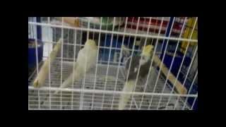 calopsita macho cantando fmea para acasalar male cockatiel singing female mating song