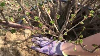 🐞Уход, обрезка смородины ранней весной. Показывает и рассказывает агроном. Часть1/2