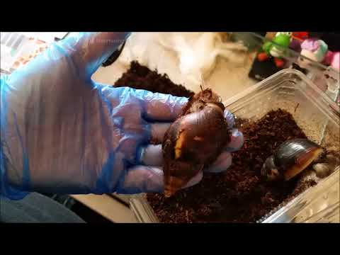 How to set up - African Land Snail tank