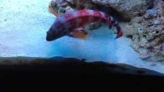 150 gal saltwater aquarium   tank   lionfish   grouper   puffer   picasso trigger