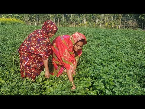 Beautiful Potato Field - Beautiful Women Collect Potato Leaves From Field & Cook Leaf Fry For Kids