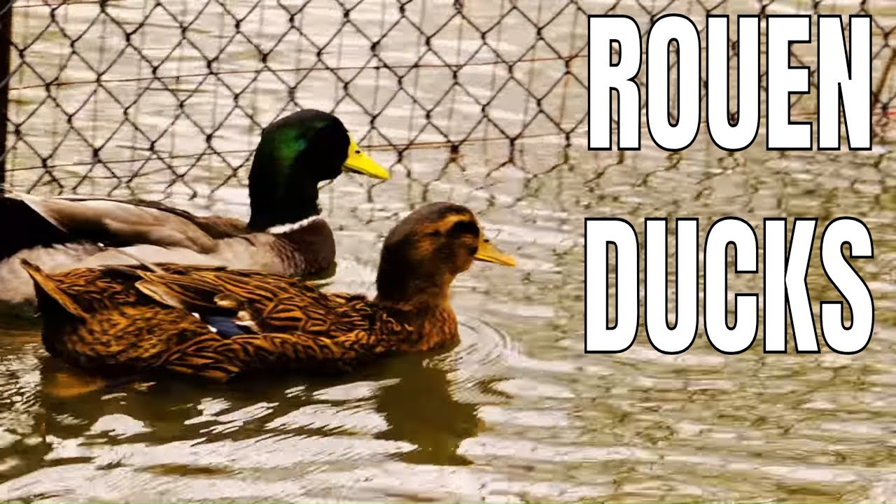 Rouen Ducks Explained