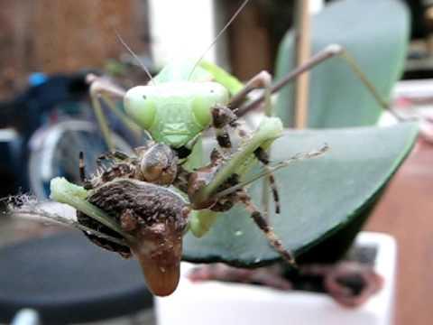 Praying mantis eating spider - YouTube