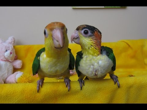 Baby White Bellied Caiques learning to Fly
