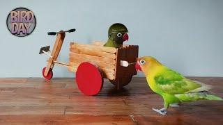 Burung Pintar | Cara Melatih Lovebird Bermain Motor ‼️