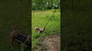Bastrop Bully's Al Capone working with his Xdog vest and 3lb weight collar.