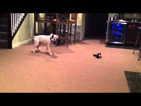 White Boxer Dog keeping himself entertained jumping playing
