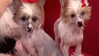 Собаки питомника Оро Антенати в передаче о породе китайская хохлатая