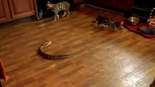 Bengal cats *vs* the Remote Control Cobra (Xmas present)