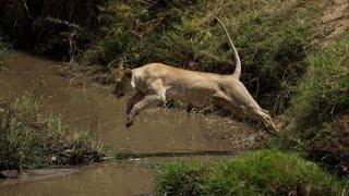 Leoa pula desesperada em rio atrás de filhote, Wild life, Reino animal, Animals, animais em extinção
