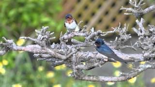 2015.5.15 からの巣作りと産卵まで.
