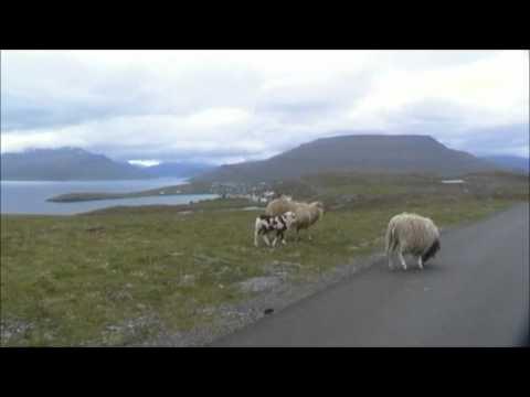 Sheep on the road, Eysturoy, Faroe Islands