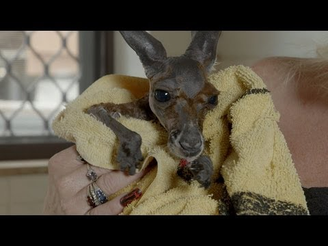 Baby Kangaroo has a bath in the kitchen sink - Kangaroo Dundee: Episode 5 Preview - BBC Two