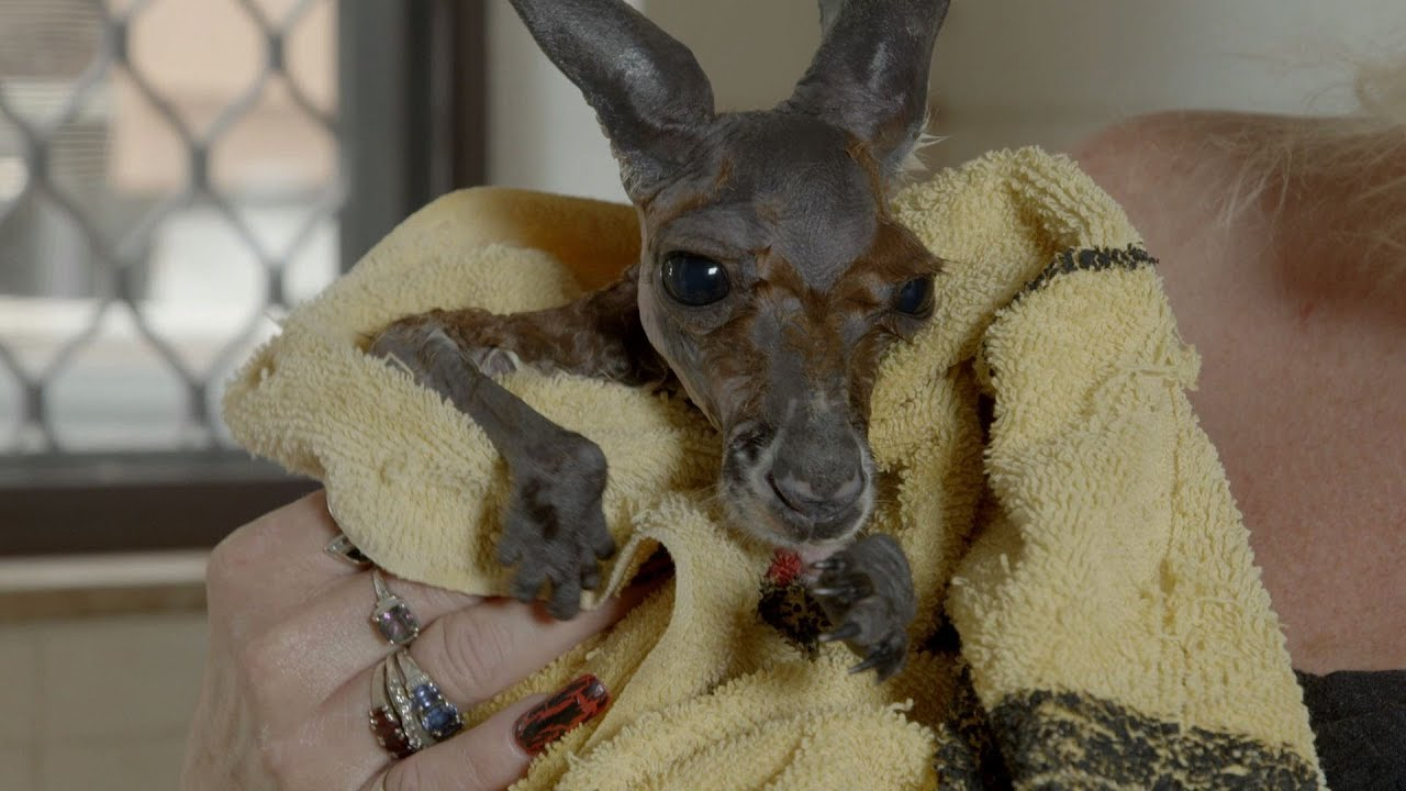Baby Kangaroo has a bath in the kitchen sink - Kangaroo Dundee ...