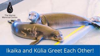 Hawaiian monk seal pups Ikaika and Kūlia greet each other