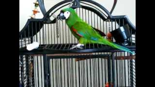parrot sings along to celine dion s ave maria severe macaw roxy