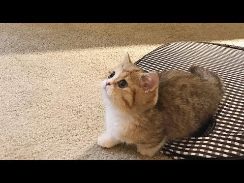 This Munchkin Kitten Will Make You Smile | Fun With Cat