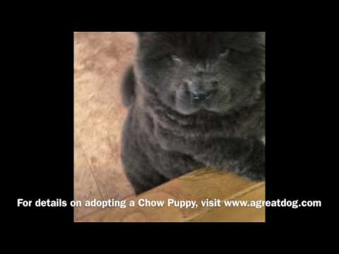 Male Chow Puppy Reserved