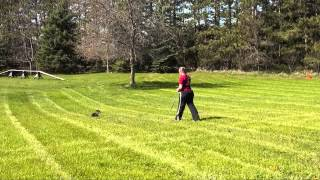 Willow (manchester Terrier) Obedience Training Demo