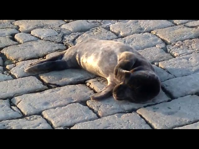 Esta foca toma el sol en la rampa de los prácticos de Puertochico de Santander