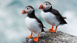 Where to see puffins in the UK | Wild Britain