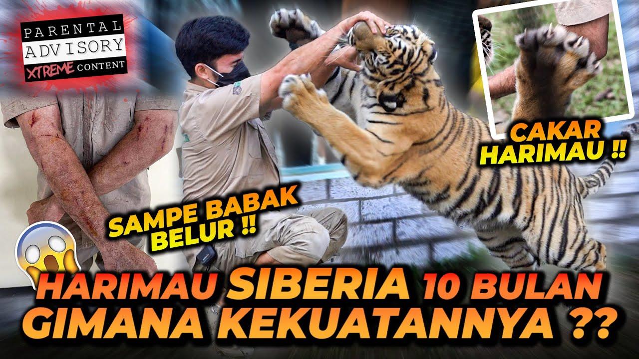 ALSHAD AHMAD BABAK BELUR MASUK KANDANG HARIMAU SIBERIA UMUR 10 BULAN !! TENAGA HARIMAU LUAR BIASA !!