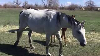 Stallion Courts And Breeds Mare - Awesome Stud Behavior