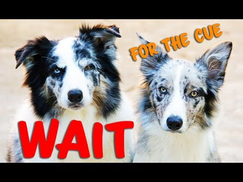 How to teach your dog to WAIT for the CUE