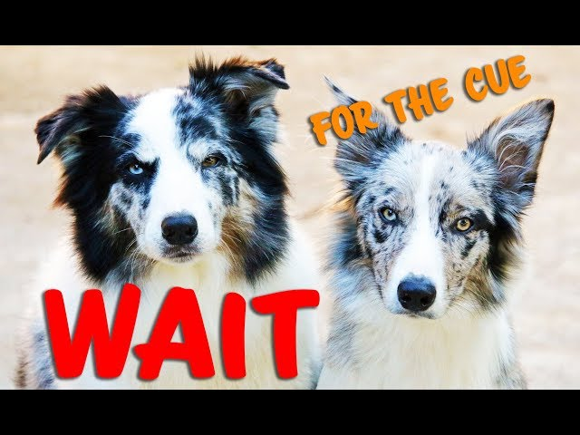 How to teach your dog to WAIT for the CUE - Dog Training by Kikopup