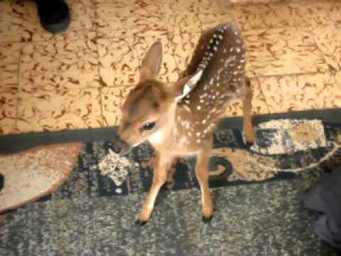 Hermozo ciervo bebe 41  YouTube
