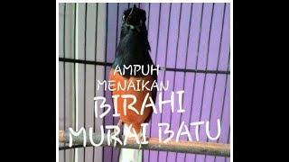 AMPUH !!!?# MENAIKAN BIRAHI MURAI BATU