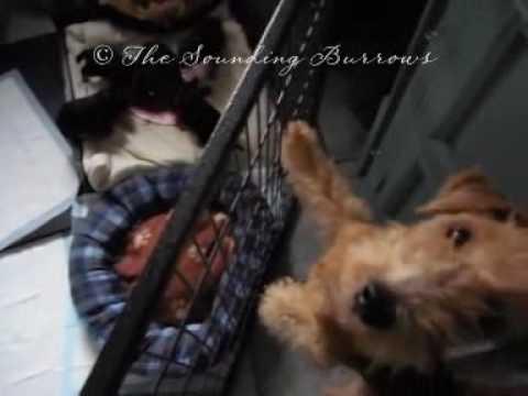 Lakeland Terrier Pups 3 Weeks Old August 2016