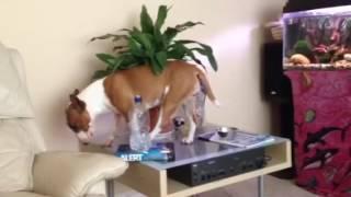 English Bull Terrier! Trancing out thumbnail