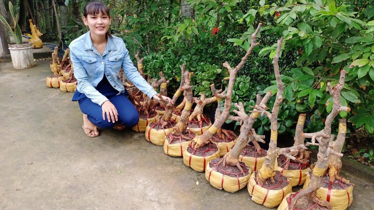 BAO BÔNG 9-12 Cánh. Phôi mai giảo GIÁ 300K-650K ngày 1/7📲 0337914541 Linh người miền tây (Quê Dừa)