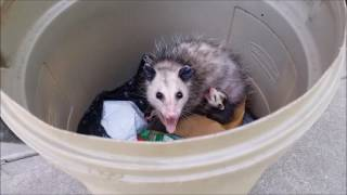 A mother opossum and her babies