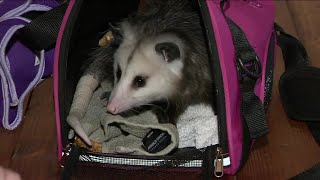 California man kicked off flight for having pet opossum